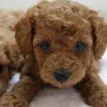 トイプードルなど5ヶ月目の子犬がフードご飯を食べない理由は?食欲不振の原因